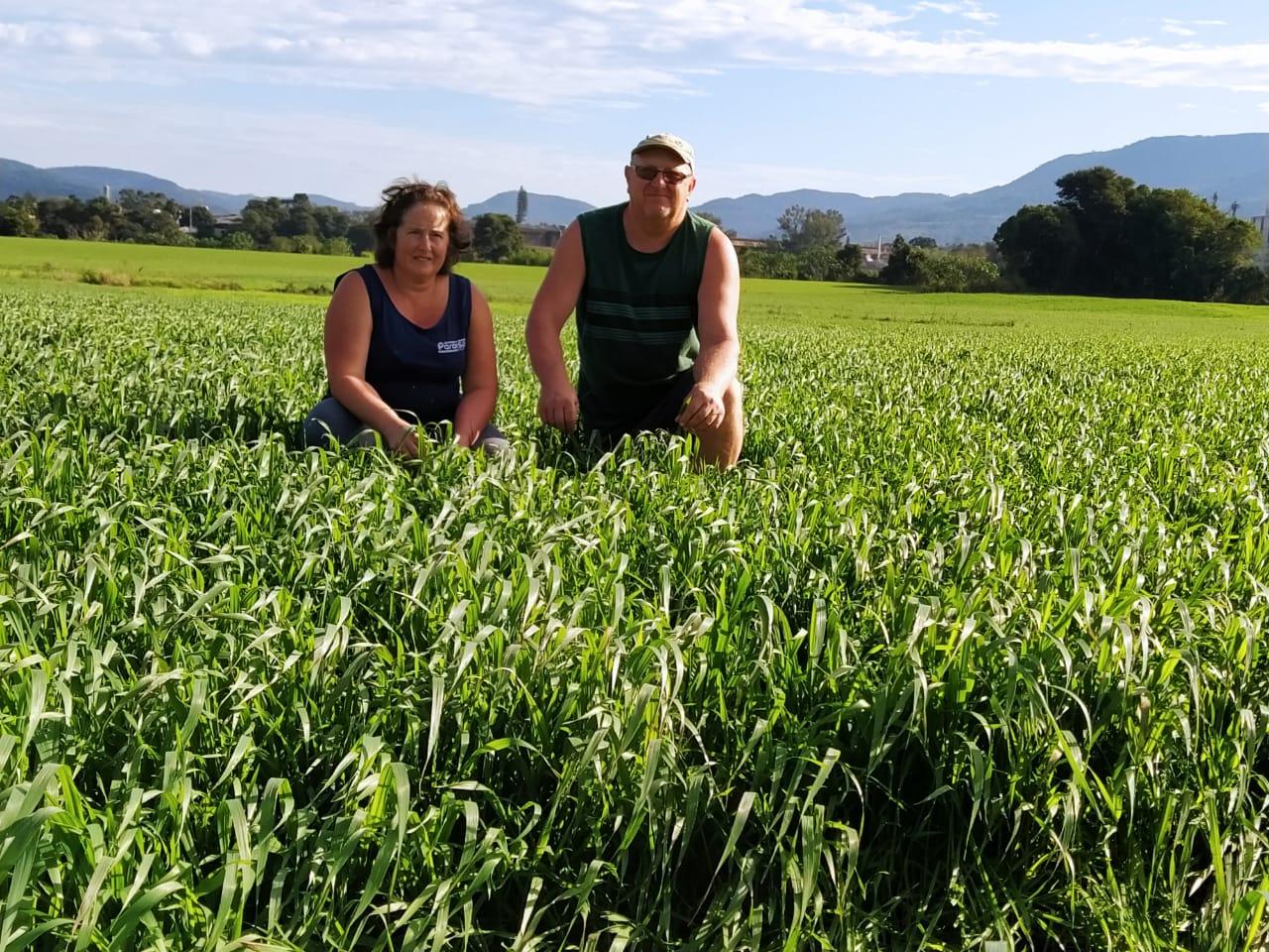 Produtores colinenses ampliam uso da silagem de trigo...